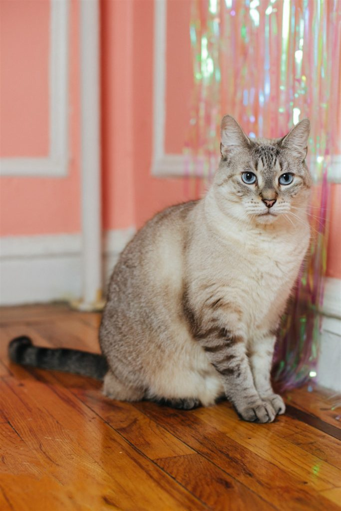 Photo of Gus the large stripey Siamese cat sitting up straight and looking suspiciously at the camera in front of a pink wall. Photo (c) Sylvie Rosokoff